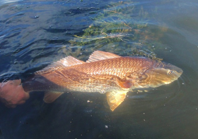 Tough flyfishing for redfish fly water expeditions for Red fish pictures
