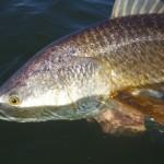 louisiana fly red fishing
