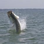 tarpon fishing fight