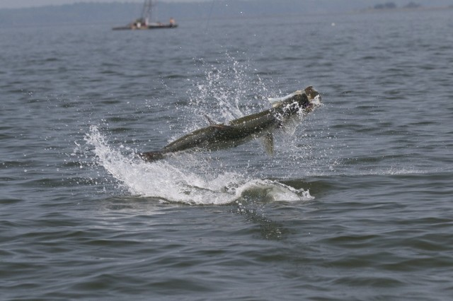 Florida fly fishing for tarpon fly water expeditions for Fly fishing for tarpon