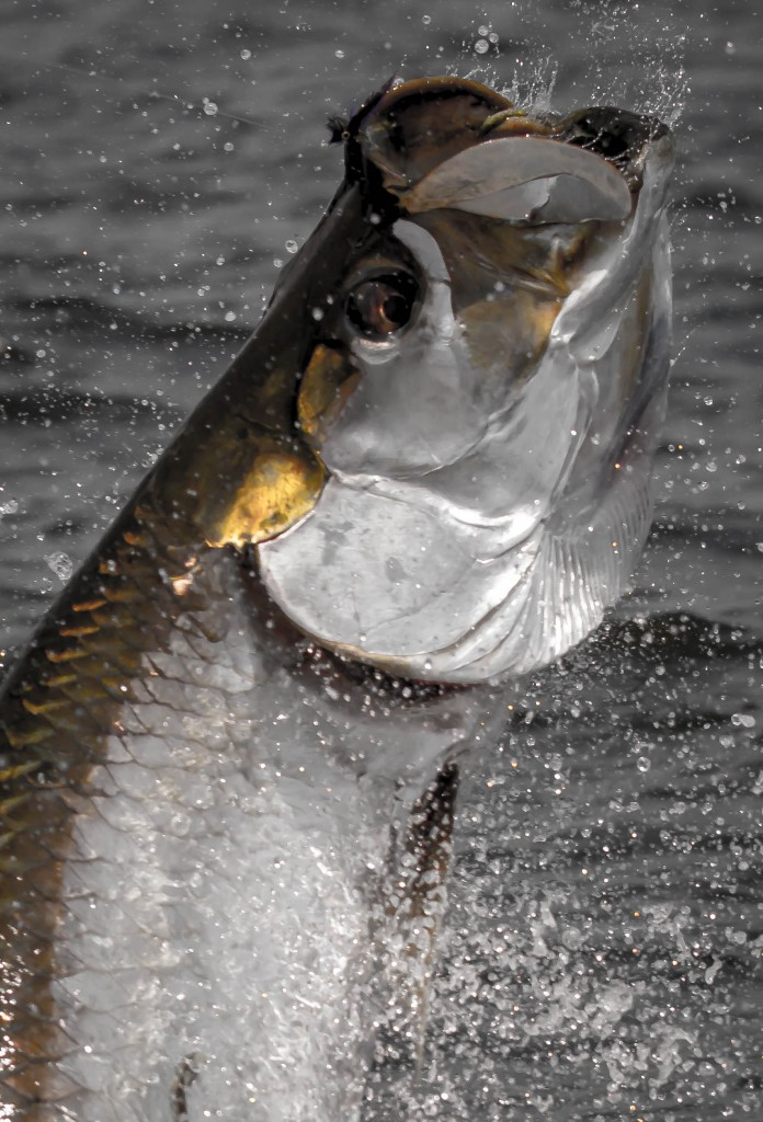 Florida tarpon fishing wrap up fly water expeditions for Tarpon fly fishing